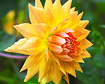 Dahlia bloom bursts with radiance.  Point Defiance Park, Tacoma, WA boasts wonderful gardens including rose gardens, dahlia garden, native plant, rhododendron and acres of old growth forest.  Hike, bike, photograph, fish, picnic, kayak