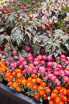 BEGONIA X HYBRIDA 'GRYPHON' AND ZINNIA 'DOUBLE ZAHARA CHERRY' AND 'DOUBLE ZAHARA FIRE'