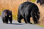 Black Bear and Cub, Roosevelt Lodge, Yellowstone National Park, Wyoming