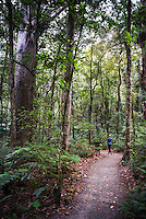 Tourist exploring Waipoua Kauri Forest, Northland Region, North Island, New Zealand