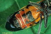 HE05-020g  Large Milkweed Bug Female, ventral surface, Oncopeltus fasciatus.