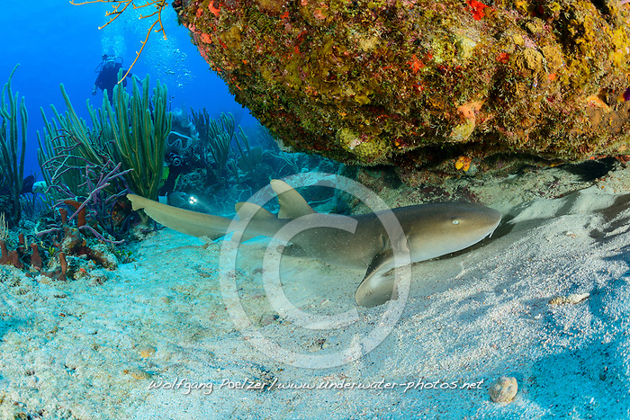 Ginglymostoma cirratum, Atlantischer Ammenhai und Taucher, Atlantic Nurse shark, and scuba diver, Insel Cooper, Britische Jungferninsel, Karibik, Karibisches Meer, Cooper Island, British Virgin Islands, BVI, Caribbean Sea