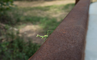 NWA Democrat-Gazette/ANTHONY REYES &bull; @NWATONYR<br /> A praying mantis sits on the side of a railing Monday, Sept. 14, 2015 on a walking bridge over Spring Creek in Springdale. The bridge is part of a trail system that leads to a mountain biking trail west of Lake Springdale.