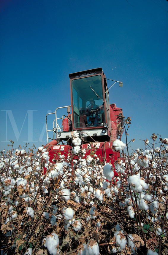 red cotton harvester working in field of white cotton. California.