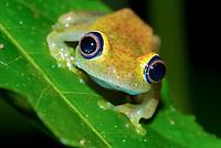 Green bright-eyed frog (Boophis viridis) in the rainforest of Andasibe, Eastern Madagascar, Madagascar, Africa