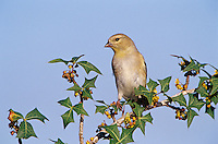 American Goldfinch, Carduelis tristis, adult on Agarita(Mahonia trifoliolata) winter plumage, Welder Wildlife Refuge, Sinton, Texas, USA