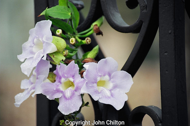Photo of Flower against Ironwork- Charleston, SC