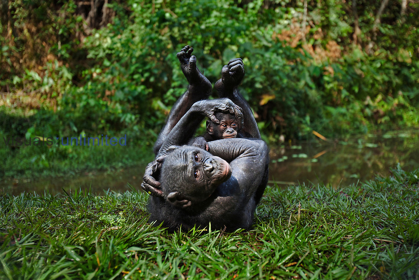 Bonobo female playing with her baby aged 3 months (Pan paniscus), Lola Ya Bonobo Sanctuary, Democratic Republic of Congo.