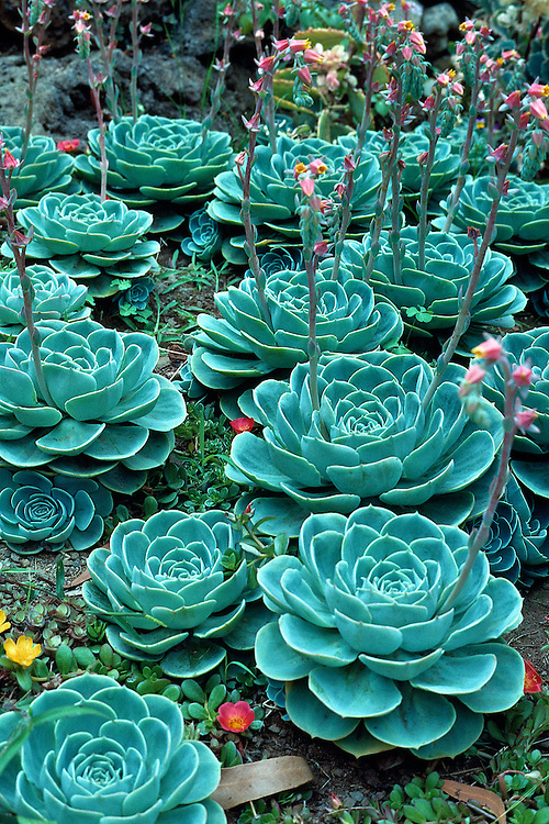 Stunning collection of  bright, textured, echeveria x imbracata plants.