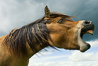 A bay horse neighs with an open mouth, giving it the appearance of laughing or yelling, against a cloudy sky.