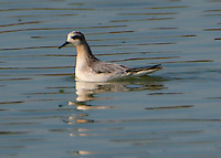 Adult red phalarope in non-breeding plumage in October. Bird spending weeks at Hornsby Bend sewage treatment plant ponds near Colorado River on southwest side of Austin, Texas.