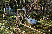 Great Blue heron at the Corkscrew Swamp Sancutuary.