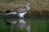 541450002 a wild adult male northern harrier circus cyaneus stands at the edge of a small pond on a private ranch in the rio grande valley of south texas