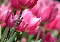 Stock image of pink Tulip flowers field with a flower and stem in the front.