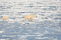 01874-12103 Polar Bear (Ursus maritimus) mother and cub jumping on ice in Hudson Bay  in Churchill Wildlife Management Area, Churchill, MB Canada