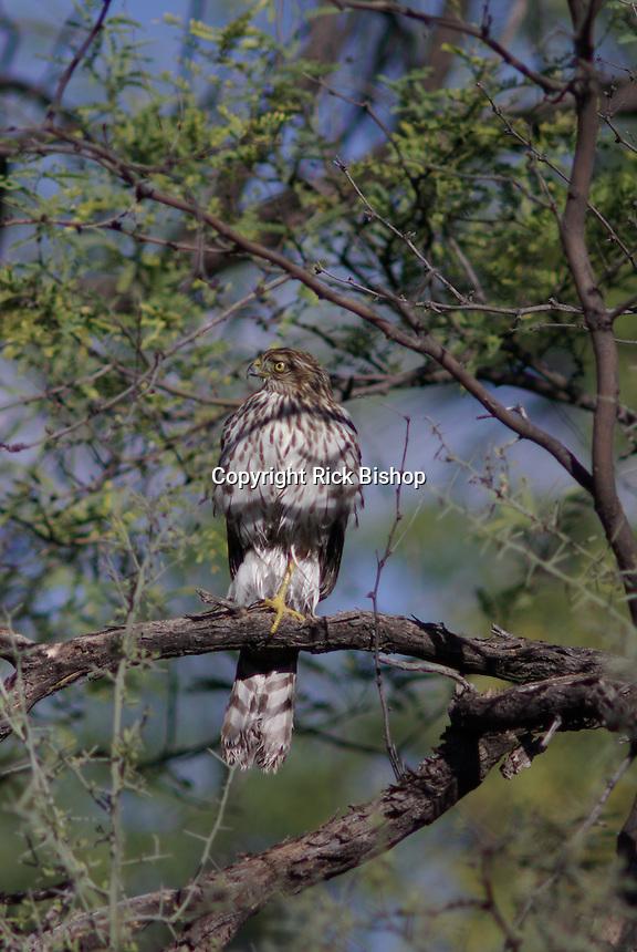 Cooper's Hawk (Accipiter cooperii) seen in a tree in southern Arizona.