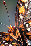 face of Baltimore Checkerspot Butterfly, Euphydryas phaeton