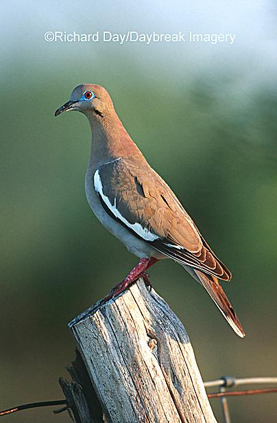 01079-001.09 White-winged Dove (Zenaida asiatica) on fence post  Starr Co. TX
