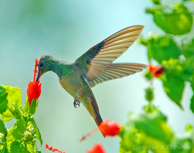 Buff-bellied hummingbird at turk's cap