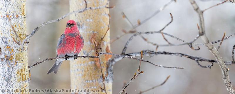 March plumage of a male pine grosbeak, Arctic, Alaska.