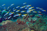 School of Blue and Yellow Fusiliers, Caesio teres, Mutiny Point dive site, near Perai village, Wetar Island, near Alor, Indonesia, Banda Sea, Pacific Ocean