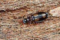Kleiner Rindenläufer, Calodromius spilotus, Dromius spilotus, Calodromius quadrinotatus, ground beetle