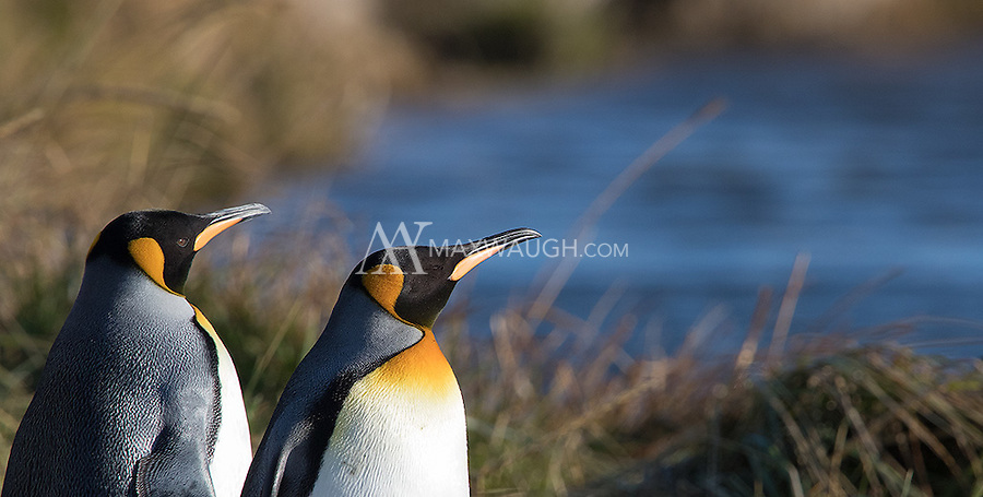 At the start of the trip, we were able to visit the only colony of breeding king penguins close to the South American mainland.  This colony was only reestablished ten years prior, and the population currently numbers around 100 birds.