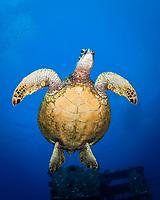 Green Sea Turtle, Chelonia mydas, Oahu, Hawaii, USA, Pacific Ocean