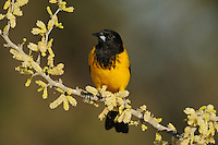Audubon's Oriole (Icterus graduacauda), adult on Blackbrush Acacia (Acacia rigidula), Dinero, Lake Corpus Christi, South Texas, USA