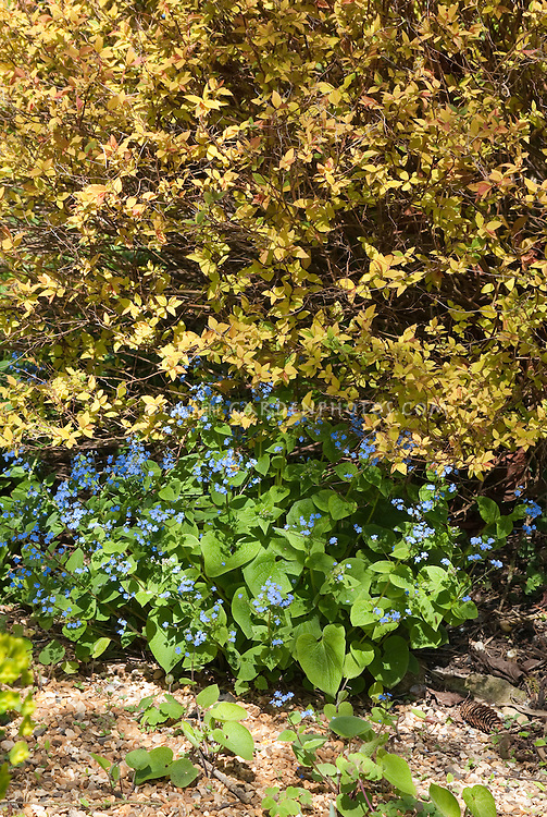 Spiraea japonica Golden Princess', Brunnera macrophylla in blue flower in spring
