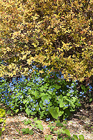 Spiraea japonica Golden Princess', Brunnera macrophylla in blue flower in spring