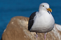 This western gull (Larus occidentalis) is standing in front of a rock on a coastal cliff with the blue ocean visibile blurred in the background.  Getting the proper exposure to bring out the detail in their white feathers was non-trivial!  Note: a small piece of debris on the bird's feathers was digitally removed; I can provide an unedited version of the image if needed/desired.