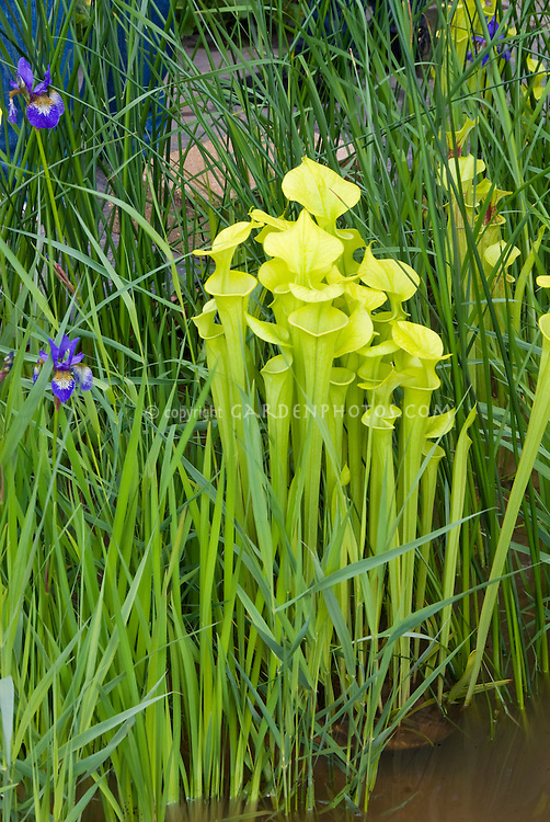 Sarracenia pitcher plants carnivorous with irises in bog water, Saracenia carnivorous plants