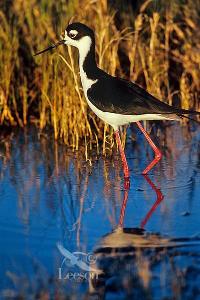 Black-necked Stilt (Himantopus mexicanus) Bear River Migratory Bird Refuge, UT, Spring.