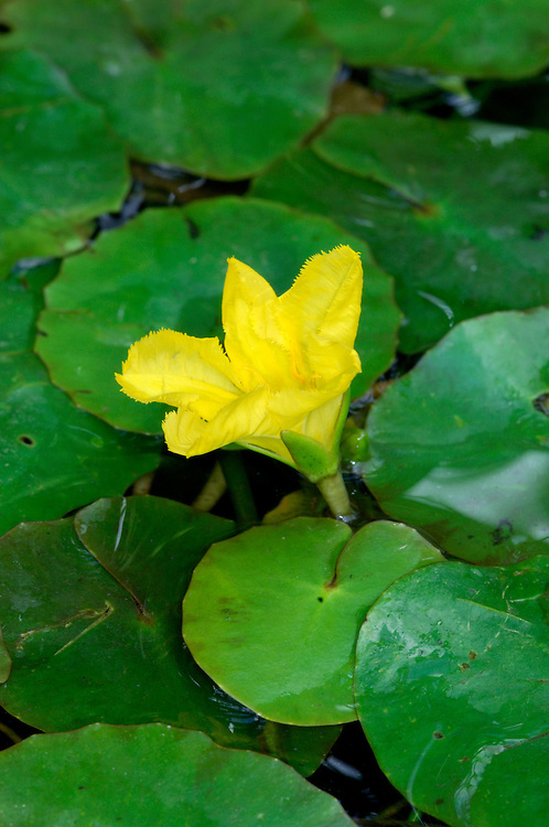 FRINGED WATER-LILY Nymphoides peltata (Menyanthaceae) Aquatic. Perennial water plant. Recalls Yellow Water-lily but smaller in all respects and with entirely different flowers. Grows in still or slow-flowing water. FLOWERS are 30-35mm across and comprise 5 fringed petals; borne on stalks rising just above the waters' surface (Jun-Sep). FRUITS are capsules. LEAVES are 3-8cm across, rounded or kidney-shaped and floating. STATUS-Locally common in S England and naturalised elsewhere.