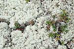 Reindeer Lichen, Cladonia rangiferina, Hiidenportti National Park, Finland, in Sotkamo in the Kainuu region, moss