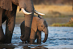 Botswana, Okavango Delta, Moremi Game Reserve,  African elephant   (Loxodonta africana) mother with calf drinking