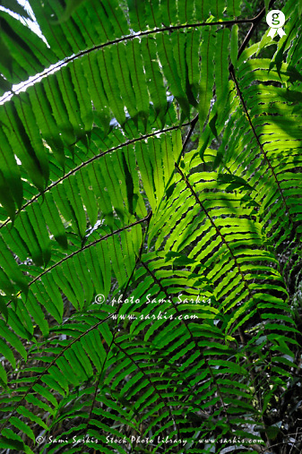 Fern leaves in rainforest (Licence this image exclusively with Getty: http://www.gettyimages.com/detail/83675997 )