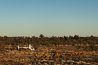 Wild Camels being mustered by helicopter in the Australian desert, aerial,  Central Australia, Northern Territory, Australia.