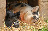 Pigs in straw.