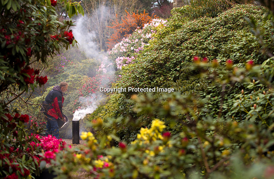 """02/04/19<br /> <br /> Hoping for a truly vintage year in his garden, Pete Tye, 49, uses smoke to protect his rhododendrons and azaleas from a forecast frost at Lea Gardens, near Matlock, Derbyshire.  <br /> <br /> With freezing temperatures and snow predicted, Pete said: """"In French vineyards they use smoke to move the air around to stop frost damage so we thought we'd give it a go here too. It's impossible to protect the whole four-and-a-half acre garden, but I want to try and save the main areas of early colour and buds if I can. I'll be keeping my eye on the temperature and will be out here with my smoker in my pyjamas at dawn again over the next few mornings if I need to.""""<br /> <br /> Pete is using a home-made chiminea and burning last year's leaves to create the smoke.<br /> <br /> All Rights Reserved, F Stop Press Ltd +44 (0)7765 242650  www.fstoppress.com rod@fstoppress.com"""
