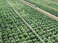 Feldsalat, Feld-Salat, Kulturform, Anbau, im Gewächshaus, Ackersalat, Rapunzel, Salat, Valerianella locusta, Cornsalad, salad