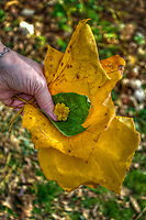 Woman holds leaves and flowers collected for her by her grandchild at the annual Ned Mosher Apple Butter Festival. The festival held at the Knox-Metzker log cabin on the ground of McVay Elementary School in Westerville every year helps raise money to maintain the cabin as a teaching tool for students at the school.