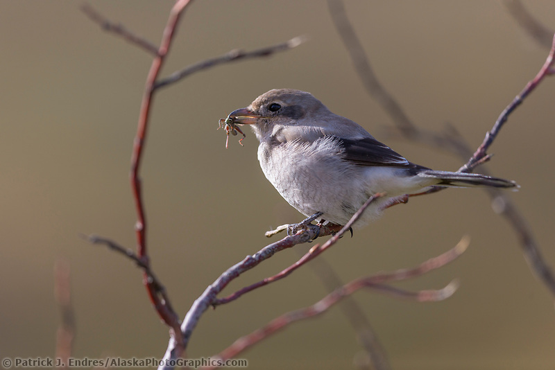 Northern shrike perched on a branch with a bug in its mouth. Denali National Park, Interior, Alaska.