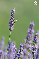 Bee gathering nectar from lavender flowers (Licence this image exclusively with Getty: http://www.gettyimages.com/detail/94466880 )