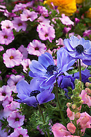 Windflower, Blue flower perennial, Anemone coronaria 'Harmony' with Calibrachoa