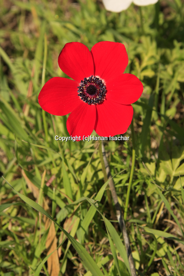 Israel, Anemone flowers in Jezreel Valley