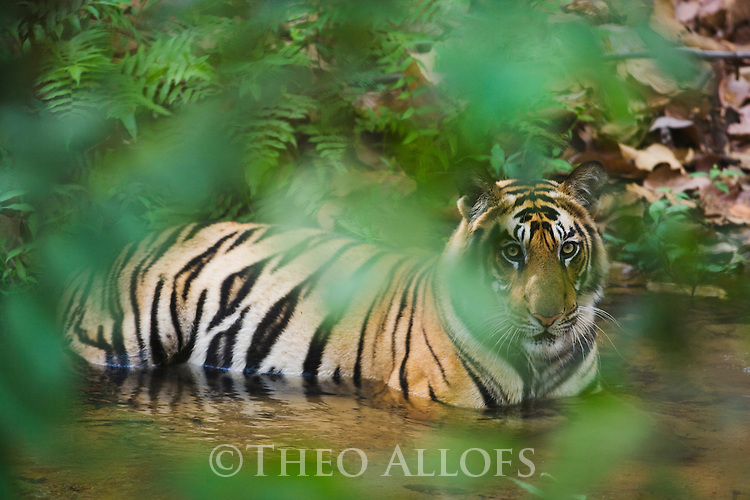 Bengal tiger (Panthera tigris); 16 months old cub cooling off in creek during dry season in April, India, Bandhavgarh National Park