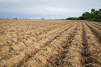 Desiccated Estima potatoes waiting harvest - Suffolk, September