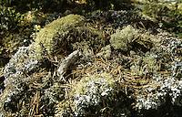 Rotfuchs, Losung, Kot, Rot-Fuchs, Fuchs, Vulpes vulpes, red fox